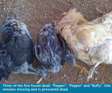 chickens-dead