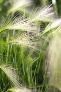 squirrel-tail-grass