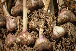 sexy garlic