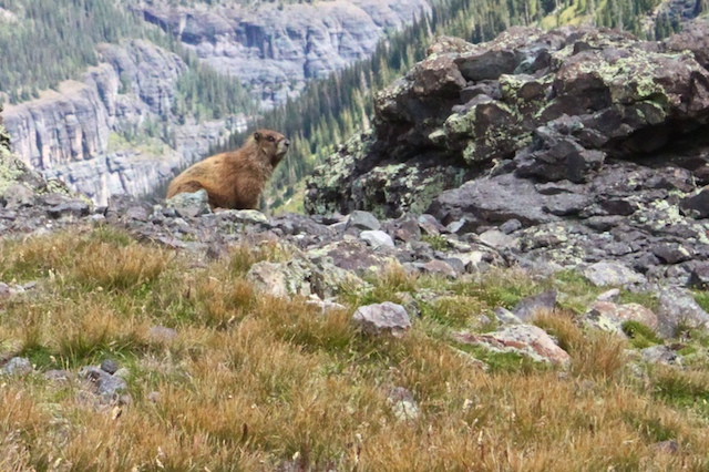 Wildlife - yellow bellied marmot? -- on way to Imogene Pass