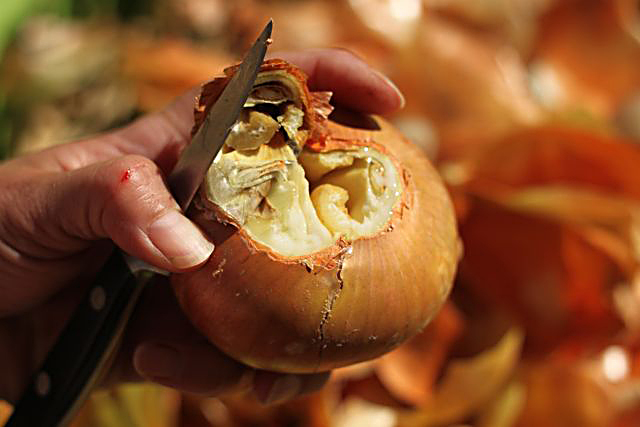 HA! I was RIGHT! This onion would have rotted within a few weeks.