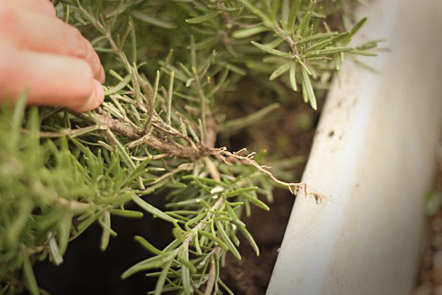 Rosemary Branch Rooted Itself