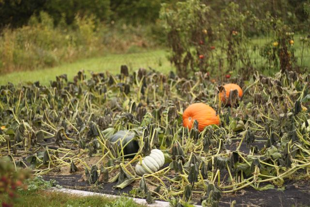 Pumpkin Patch after the killing frost 10.1.09