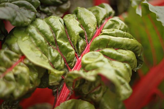 brightlights swiss chard 10.6.09 and still kicking.