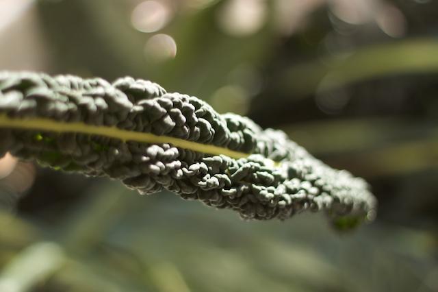 single leaf of black tuscan kale