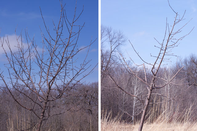 pruning apple trees pictures. How Not to Prune an Apple Tree