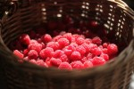 fall harvest raspberries