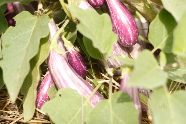 dozens of perfectly sized tiny eggplant