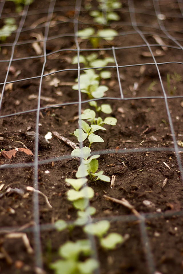 radish seedlings hiding under old tomato cages to keep the cats out.