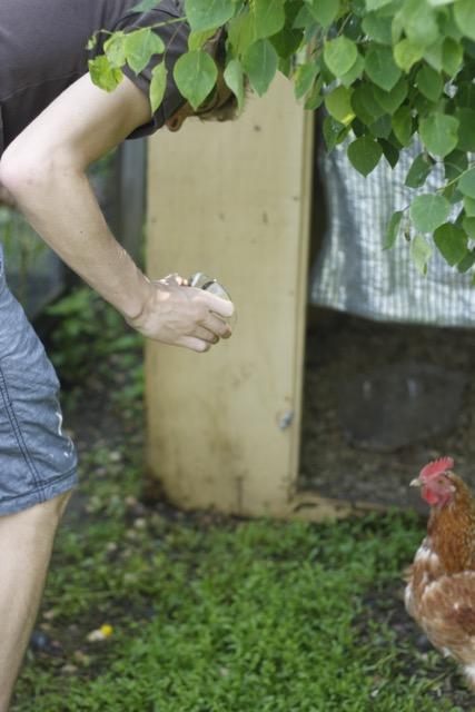 feeding slugs to the chicken