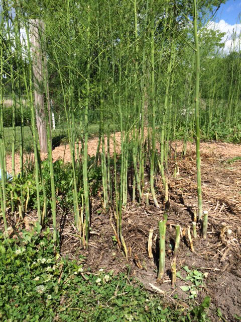 partially weeded asparagus