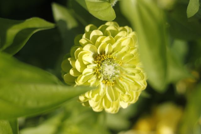 Chartruese colored 'Green Envy' zinnia is my favorite!