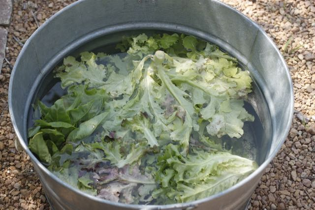 This is the last of the original leaf lettuce being washed in my galvanized tub. It'll get dried on big towels before going in the fridge.
