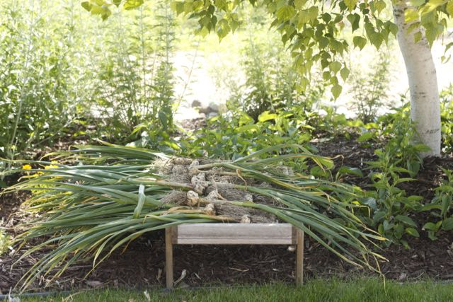 Garlic curing in its shady spot under the birch tree