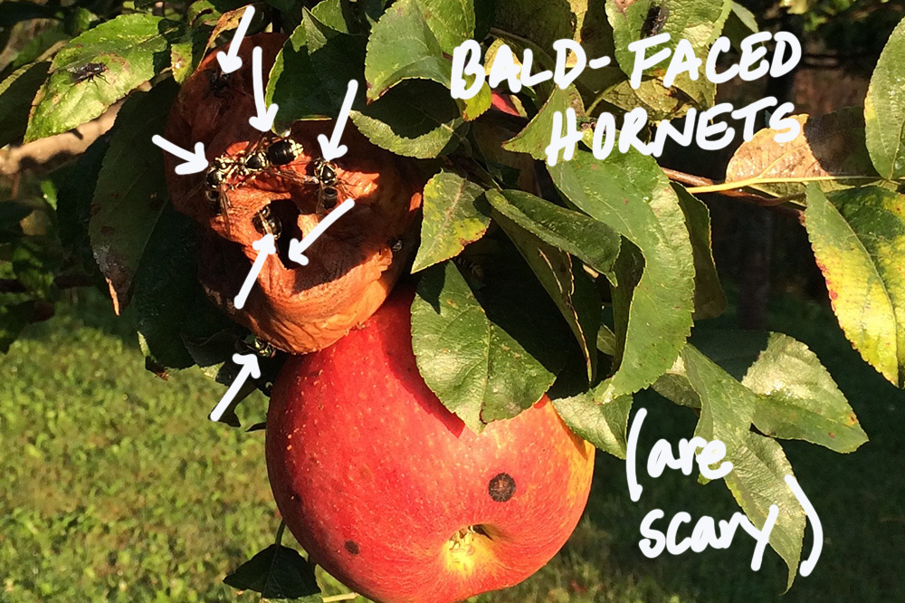 bald faced hornets on apple