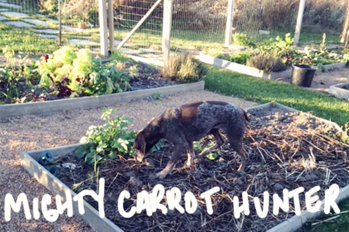 carrot-hunter