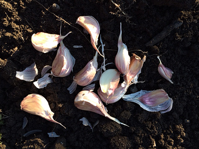 garlic-cloves