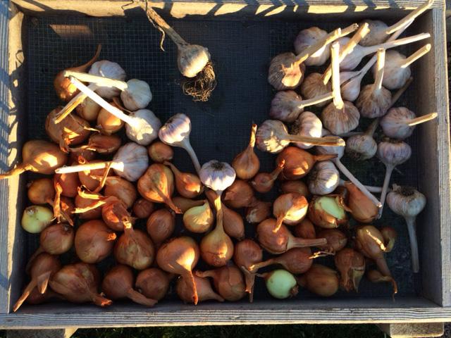garlic&shallots