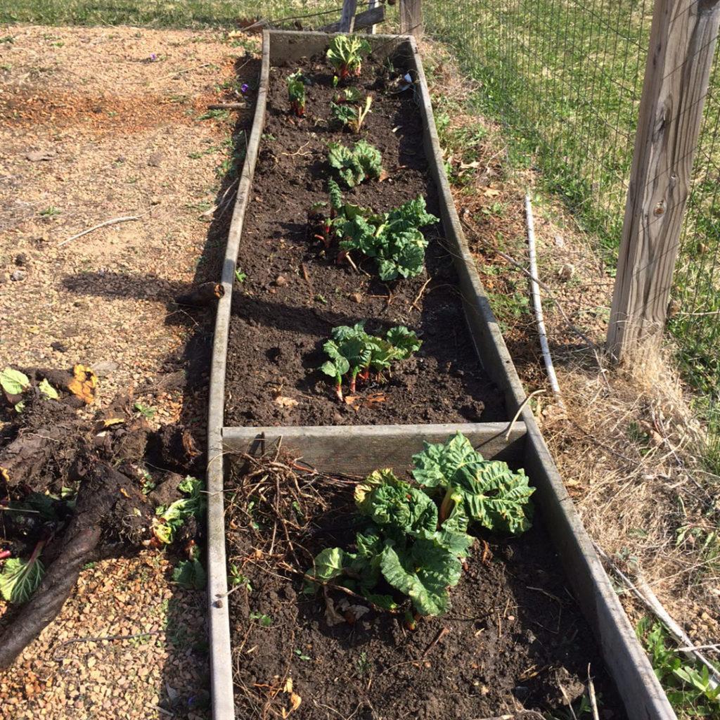 Rhubarb transplants after splitting