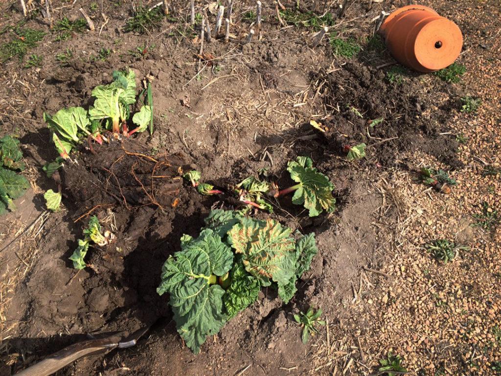 Splitting rhubarb