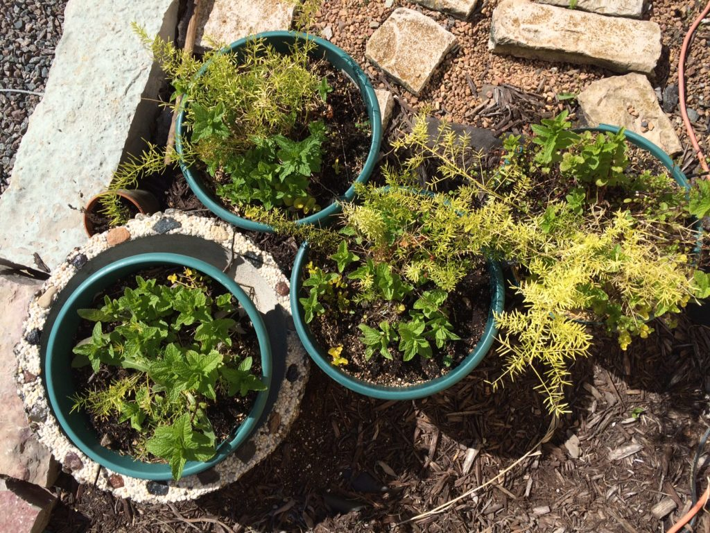 Battle of the Mint and asparagus fern