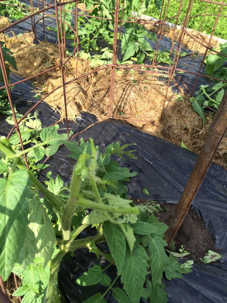 tomato plant hail damage