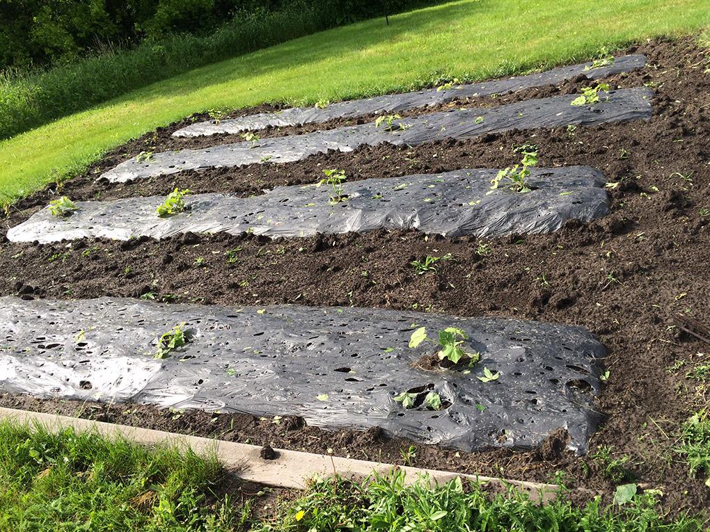 Pumpkin black mulch hail damage
