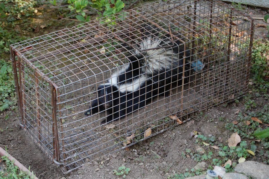 The Skunk in the Live Trap