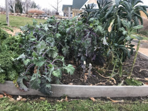 Spring planted kale after 26 degree freeze.